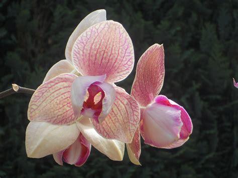 alle verschillende bloemen mijn tuin phalaenopsis met 2 soorten bloemen