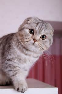 scottish fold cat scottish fold cat a cat