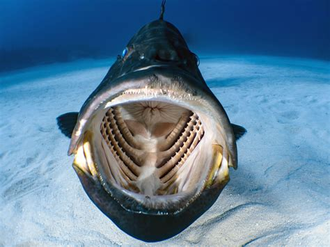 fish giant face open diver wide scuba yawn comes caters mid grouper shawn murphy pic