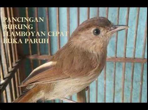Gratis download dan streaming lagu mp3 terbaru. Www.ciri Ciri Burung U Flamdboyan Jantan : Perbedaan Burung Murai Batu Jantan Dan Betina ...