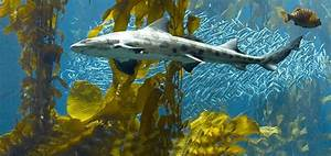 Leopard sharks live in shallow waters of bays and ...