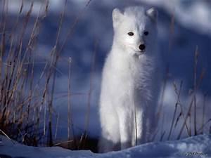 Bébé Loup Blanc : especes animales bebes ou adultes en photo ou en image ~ Farleysfitness.com Idées de Décoration