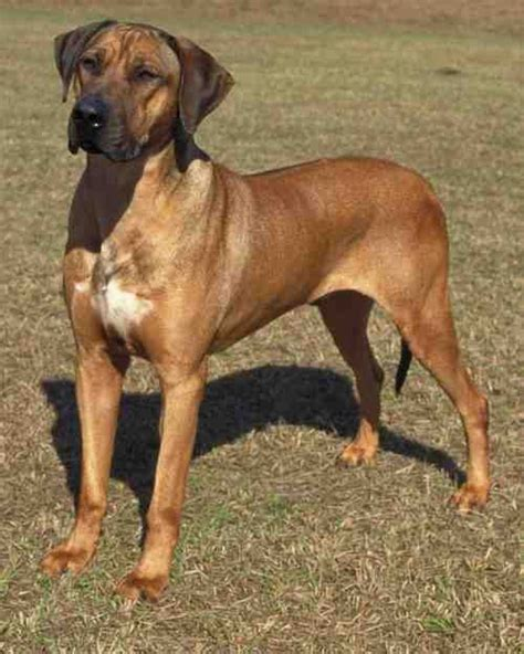 Rhodesian Ridgeback Excessive Shedding by Rhodesian Ridgeback Due To Their Coats Ridgebacks