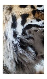 Tiger Face Portrait · Free photo on Pixabay