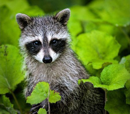 raccoons raccoon pictures raccoon facts national