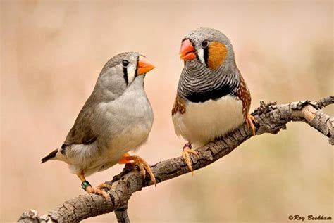 zebra finches are dimorphic that is to say that the males