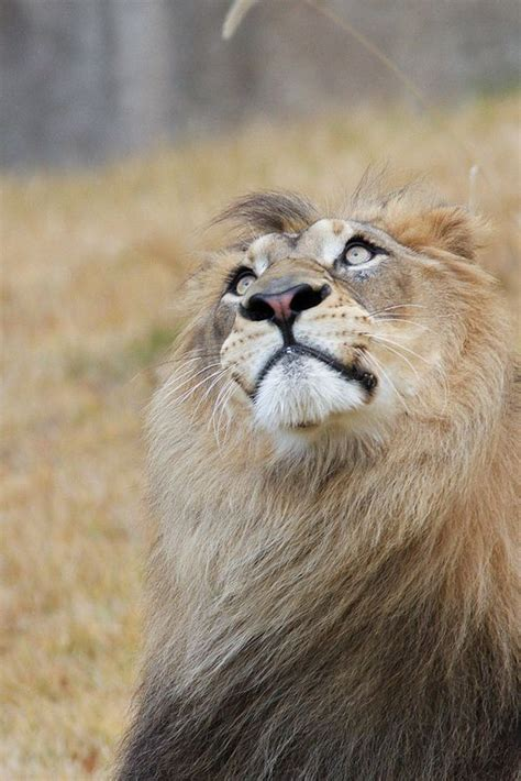 17 Best Images About Lion Love On Pinterest Mountain
