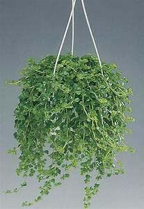 Pilea Pflanze Kaufen : hell gr n topfpflanzen artillerie fern mini peperomia ~ Michelbontemps.com Haus und Dekorationen