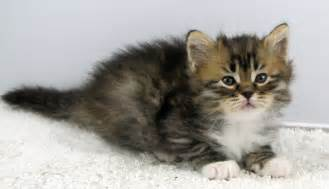 hypoallergenic cats price beware buying a siberian kitten before you buy a kitten
