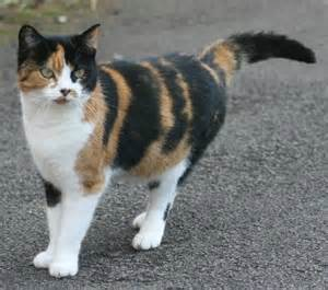 why are calico cats
