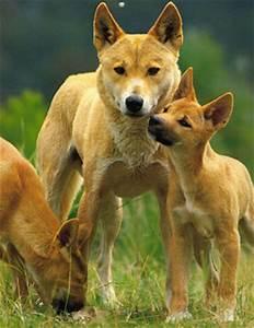 Dingo's in Peril | Phillip's Natural World 1.0.3