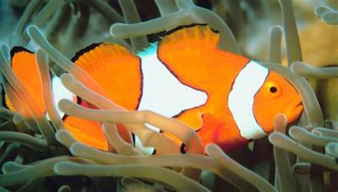 specialized characteristics   clownfish animals momme