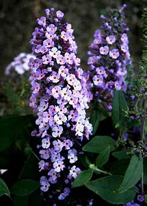 How To Care For Butterfly Bushes