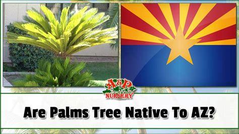 palms tree native  az ap nursery