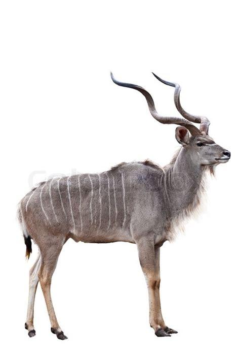kudu  white background  zoo stock photo colourbox