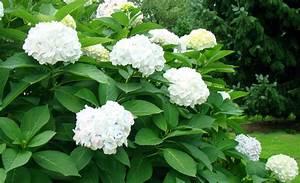 Hortensien Wann Schneiden : hortensien schneiden baumschnitt ~ Lizthompson.info Haus und Dekorationen