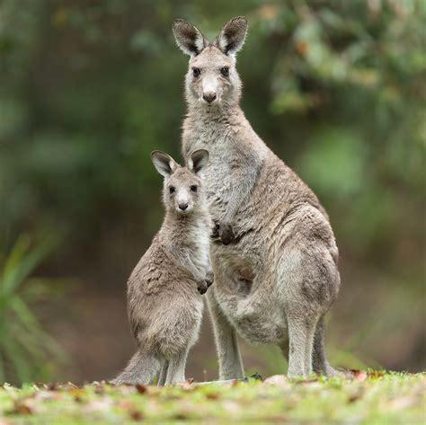 Eastern grey kangaroo Wikipedia