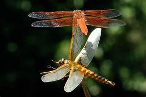 17 Best Images About Inspiration  Insects  Dragonflies On