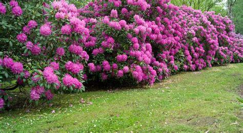 cuisine veranda rhododendron semis entretien culture et arrosage
