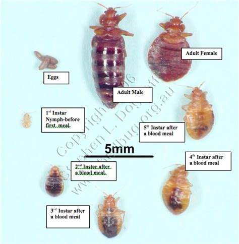 what color are bed bugs what do bedbugs look like excimex
