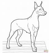 Doberman Coloring Pinscher Pages Realistic Dogs Puppy Drawing Printable Clipart Supercoloring Puppies Adult Dog Drawings Colouring Designlooter Getdrawings Dobermans Collection sketch template