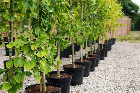 de cuisine light ginkgo biloba tree ornamental trees