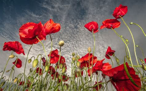 Field Flowers Poppies Red Sky Clouds Wallpaper 1920x1200