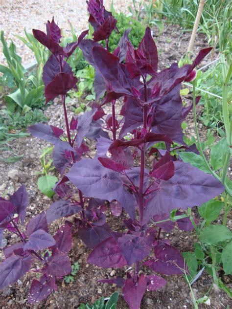 seminte  plante de gradina hobby loboda