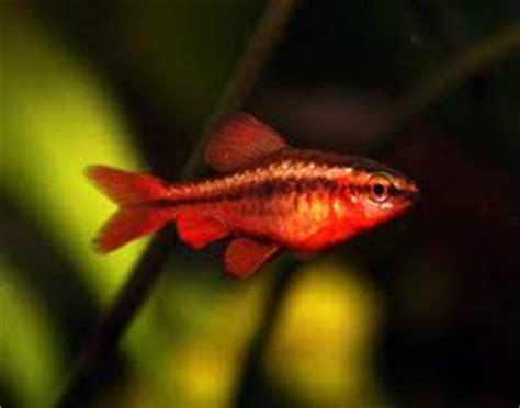 cherry barb puntius titteya tropical fish site