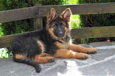 deutscher schaeferhund hunde wesen temperament