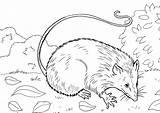 Coloring Pages Opossum Skunk Raskraska Partridge Coloringtop sketch template