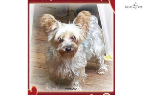 yorkshire terrier yorkie puppy  adoption