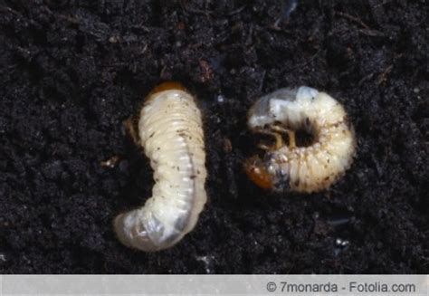 engerlinge bekaempfen sanfte mittel gegen kaeferlarven