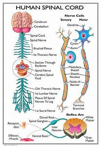 The Spinal Cord  The Spinal Cord Worksheet