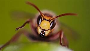 Schwarze Wespe Deutschland : stechende insekten wadenstecher stechende fliege stechfliege kleine schwarze stechende ~ Whattoseeinmadrid.com Haus und Dekorationen