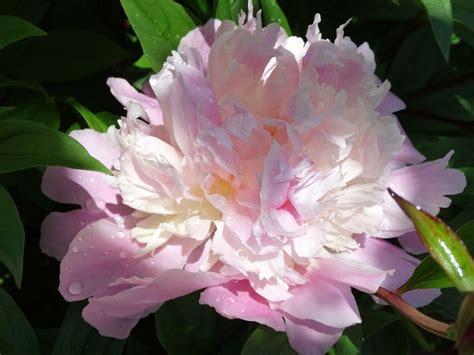 draugiem.lv | Peony flower photos, Flower photos, Peonies