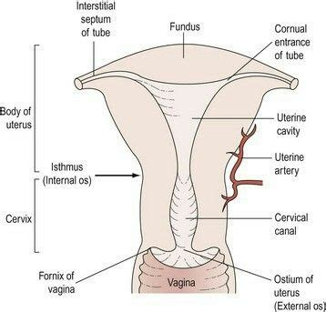 Cornu of the uterus-ovarian ligament attaches, fallopian ...