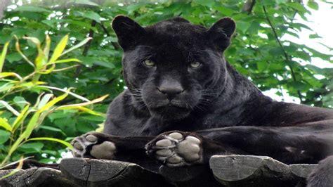 Black Jaguar Animal Hd Wallpapers - black panther jungle cat black jaguar animal wallpaper hd
