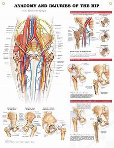 Anatomy And Injuries Of The Hip Chart 20x26