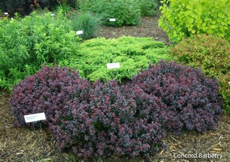 burgundy shrubs and bushes royal burgundy barberry low growing barberry with great dark red foliage from spring to fall and