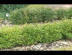 Wann Schneidet Man Apfelbäume : video wann schneidet man einen buchsbaum eine ~ Lizthompson.info Haus und Dekorationen