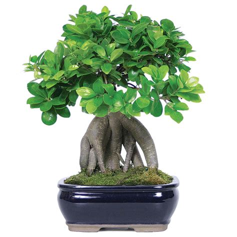 Bonsai Ficus Ginseng Pflege by Ginseng Grafted Ficus Care