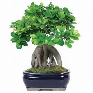 Bonsai Ficus Ginseng : ginseng grafted ficus care ~ Buech-reservation.com Haus und Dekorationen