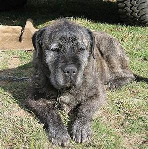 pic of great dane/irish wolfhound mix - Google Search ...