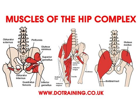 Interesting facts about voluntary muscles the human body has over 600 voluntary/skeletal muscles. Name the hip muscles