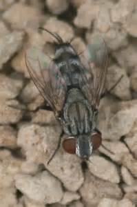 Cicada Killer Fly