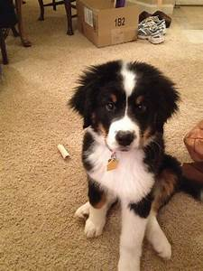 25+ best ideas about Border collie mix on Pinterest ...