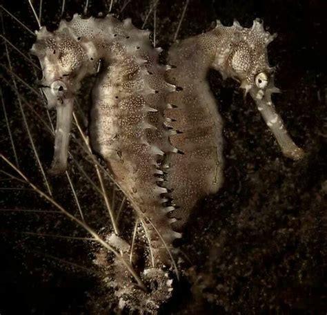 animals monogamous sea horses tails travel pets mates holding each
