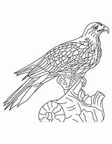 Hawk Coloring Pages Printable Bluebird Shinned Bird Print Comments Harris Tailed Results sketch template