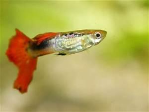 Fische Für Anfänger : die beliebtesten aquarium fische ~ Orissabook.com Haus und Dekorationen